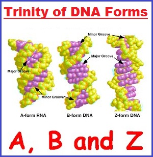 Trinity of DNA forms