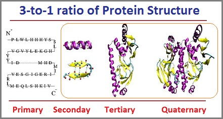 3 to 1 ratio of protein structures