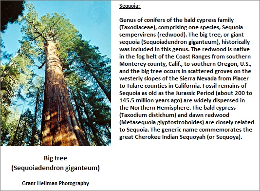 Giant Redwood Tree