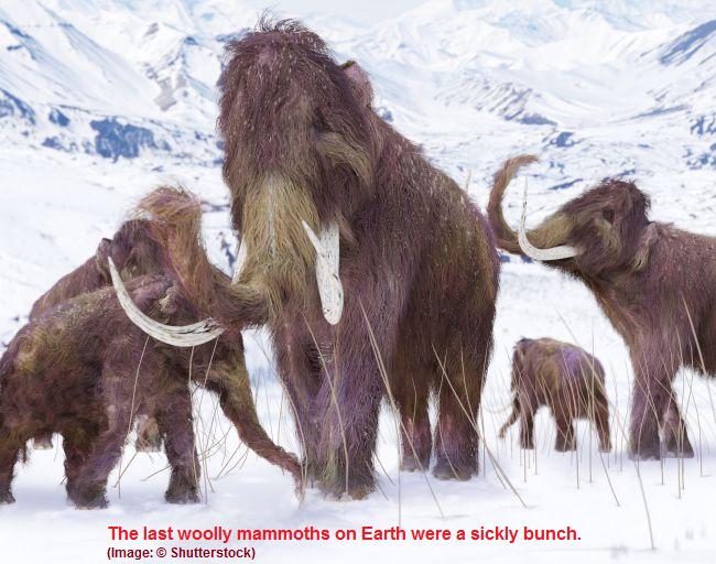 Last Woolly Mammoths were copies of  copies of copies