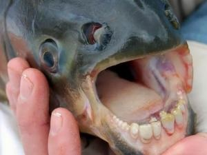 Piranha fish with human-like teeth