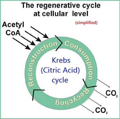 Simplified circular model of Krebs or Citric acid cycle
