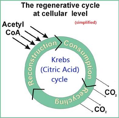 Simplified circular model of Krebs or Citric acid cycle
