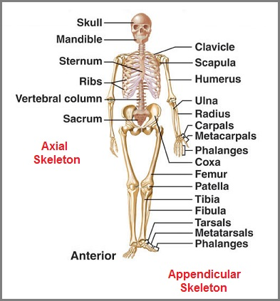 Adult Human Skeleton