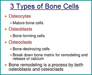 Types of bone cells