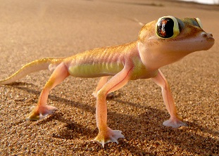 Webbed footed gecko
