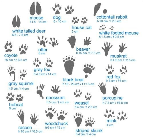 Various animal tracks