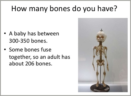 Infant Human Skeleton