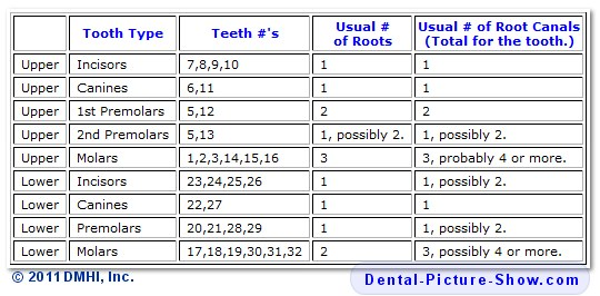 Quantity of human teeth and tooth roots