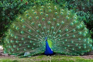 Peacock with fanned feathers