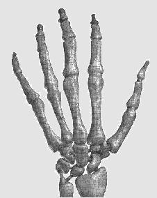 Human Skeletal Hand
