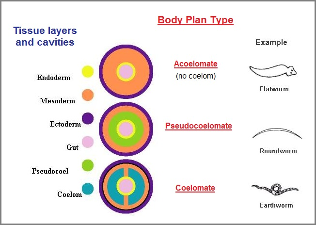 Germ layer- derived body plans