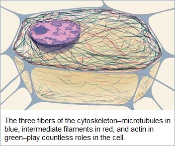 3 fibers of cytoskeleton