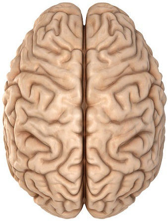 2 hemisphere brain model