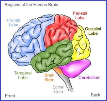 7 regions brain model