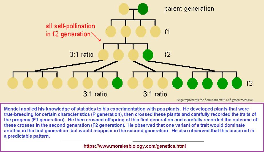 3 to 1 ratio in Mendelian genetics