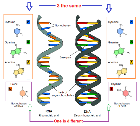 3 to 1 ratio outlined in RNA and DNA similarities