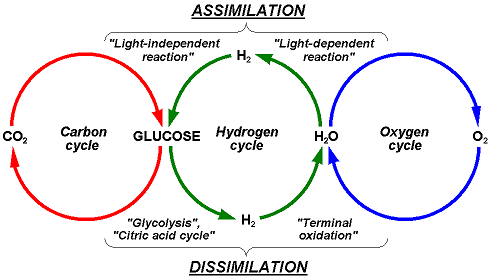 Carbon, Hydrogen, Oygen cycle