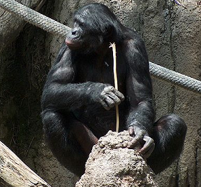Chimpanzee fishing for insects
