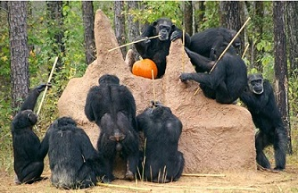 Socialized gathering of chimps with individualized fishing techniques