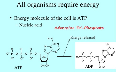 Nucleic acids and ATP