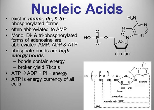 Nucleic acids in mono, di, tri forms