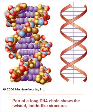 Helical twist to DNA strand