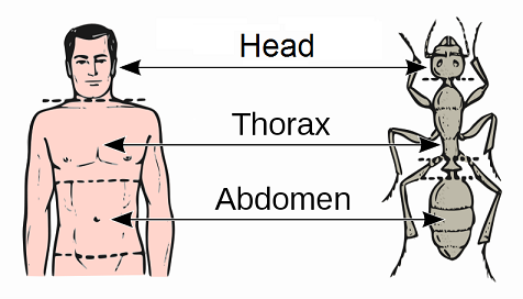 Head, thorax, abdomen of an insect and human