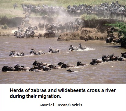 Migrating animals crossing a stream