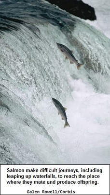 Migrating Salmon swimming up-stream