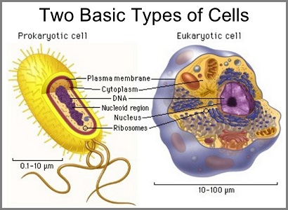 Two types of cells perspective
