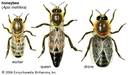 3 classes of honeybees